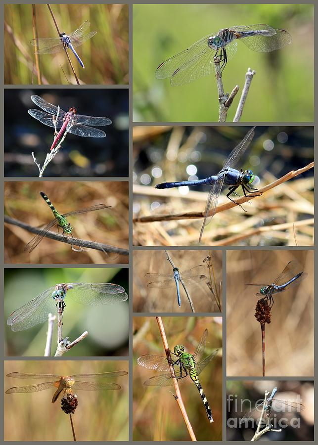 Dragonfly Collage Photograph  - Dragonfly Collage Fine Art Print