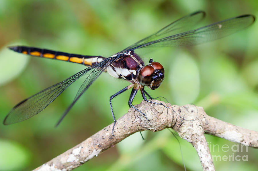 Dragonfly Photograph - Dragonfly by Dawna  Moore Photography