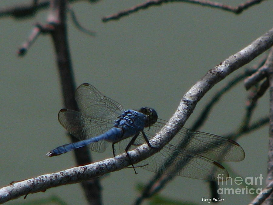 Art For The Wall...patzer Photography Photograph - Dragonfly by Greg Patzer