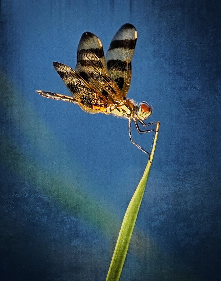 Dragonfly On Blue Photograph