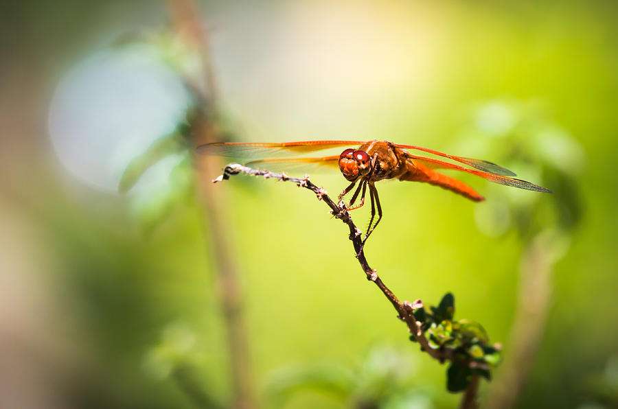 Dragonfly Smile Photograph  - Dragonfly Smile Fine Art Print