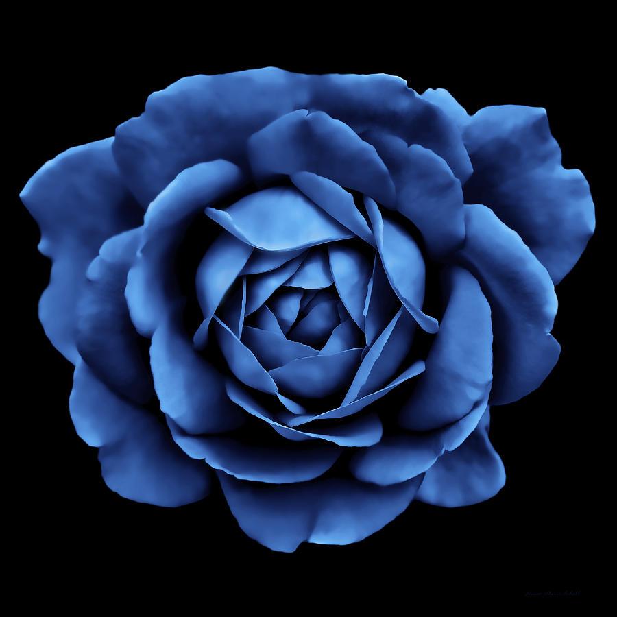 Dramatic Cobalt Blue Rose Portrait Photograph By Jennie