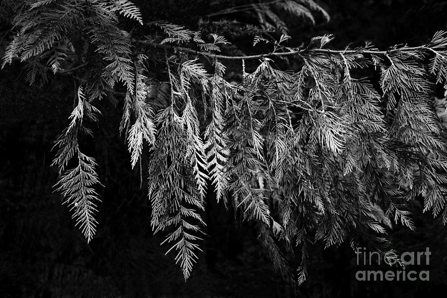 Draping Cedar Photograph