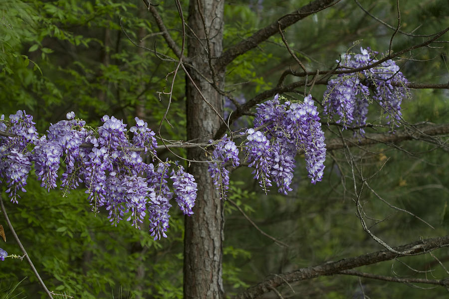 draping wisteria frutescens wildflower vines photograph by