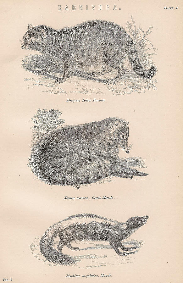 Drawings Of Carnivorous Animals Drawing by Anon