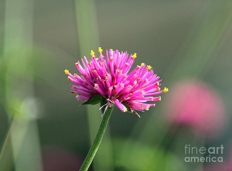 Dreaming In Fuschia II Photograph