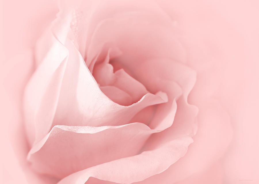 Dreaming Of Pink Roses Photograph  - Dreaming Of Pink Roses Fine Art Print