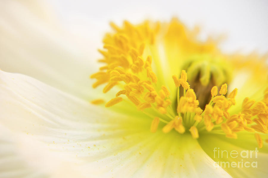 Dreaming Poppy Photograph  - Dreaming Poppy Fine Art Print