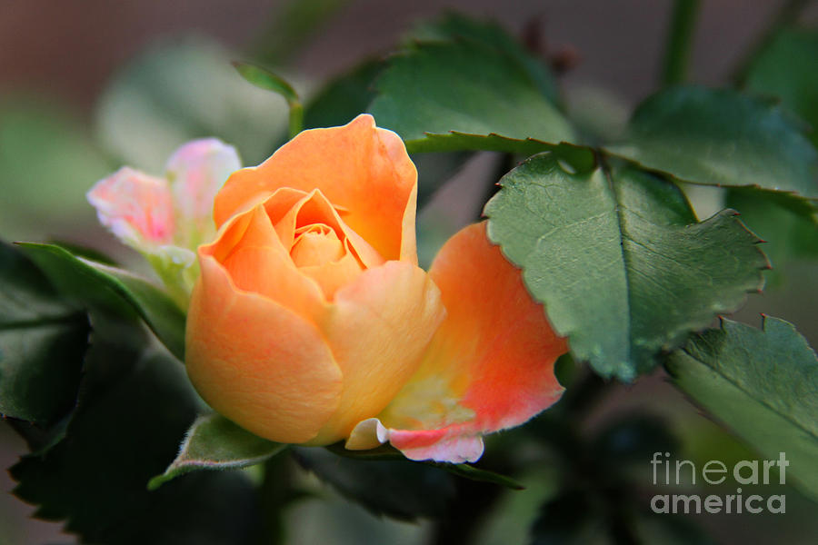 Dreamsicle Photograph  - Dreamsicle Fine Art Print