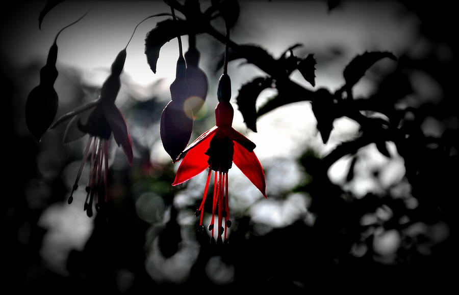 Plant Photograph - Dreamy Fuchsia by Florian Walsh