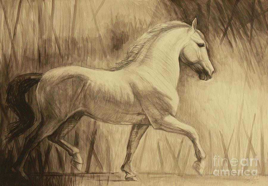 Dressage Lipizzan Drawing  - Dressage Lipizzan Fine Art Print