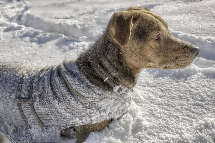Dog Photograph - Dressed For The Snow by Jason Politte