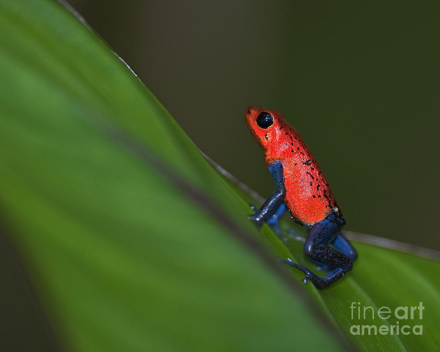 Blue Jeans Poison Dart Frog Photograph - Dressed To Kill.. by Nina Stavlund