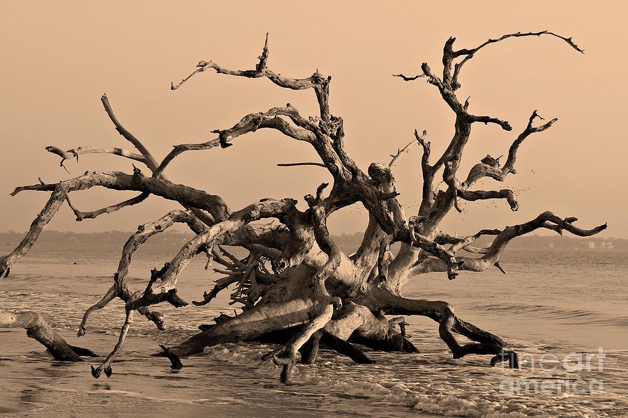 Driftwood Beach Jekyll Island Photograph