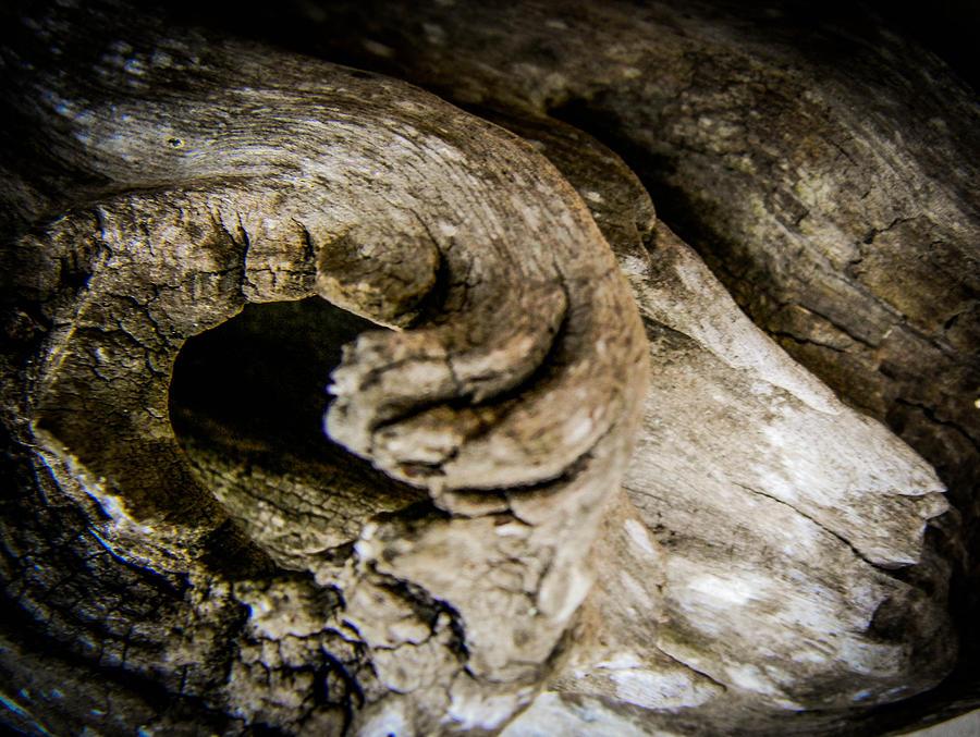 Driftwood Ram Photograph