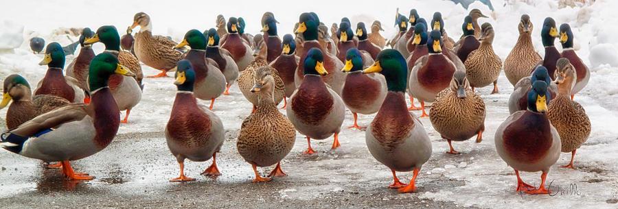 Ducks Photograph - Duckorama by Bob Orsillo