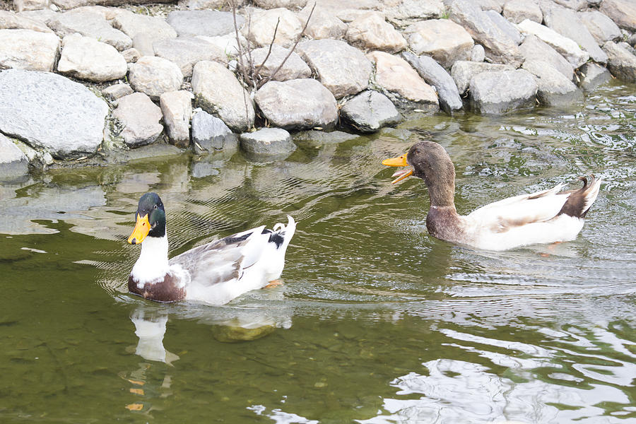 Ducks Enjoying Life Photograph
