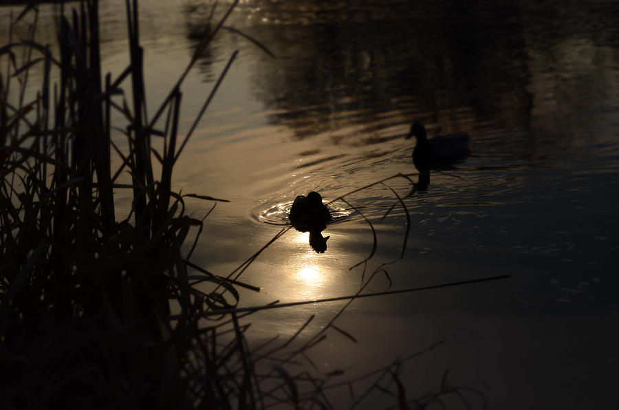 Ducks Photograph - Ducks On The River At Dusk by Samantha Morris