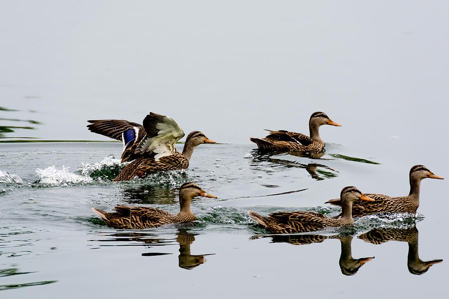 ducks swimming on the - photo #7