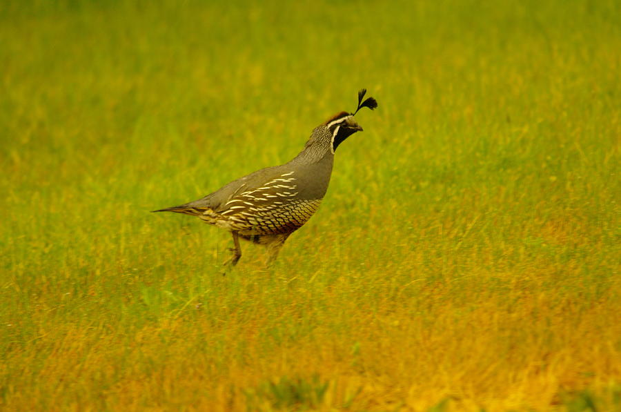 Quail Photograph - Dude Dont Shoot Me by Jeff Swan