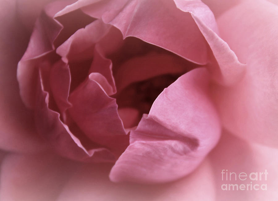 Dusty Rose Photograph  - Dusty Rose Fine Art Print