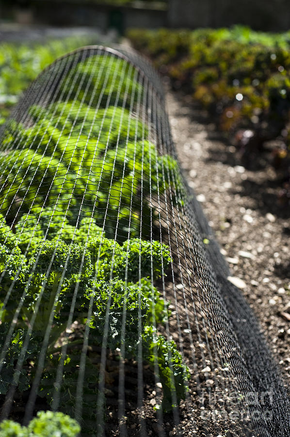 Gardening Photograph - Dwarf Green Curled by Anne Gilbert
