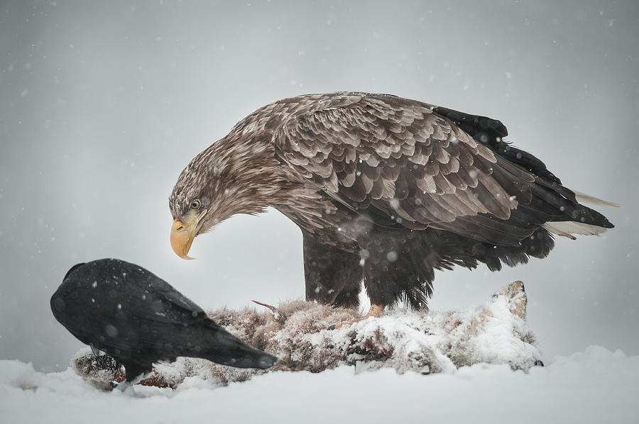 Eagle And Raven Photograph  - Eagle And Raven Fine Art Print