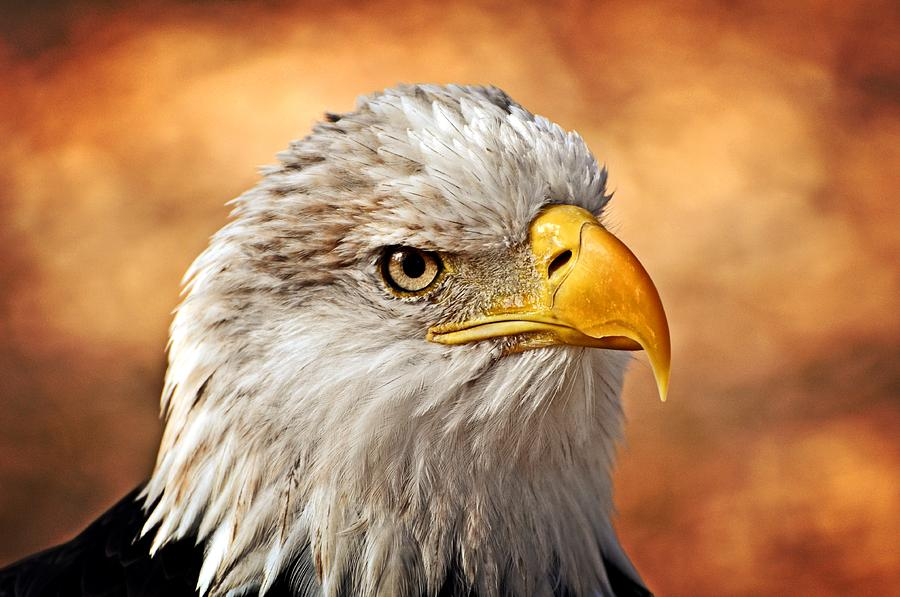Eagle At Sunset Photograph  - Eagle At Sunset Fine Art Print