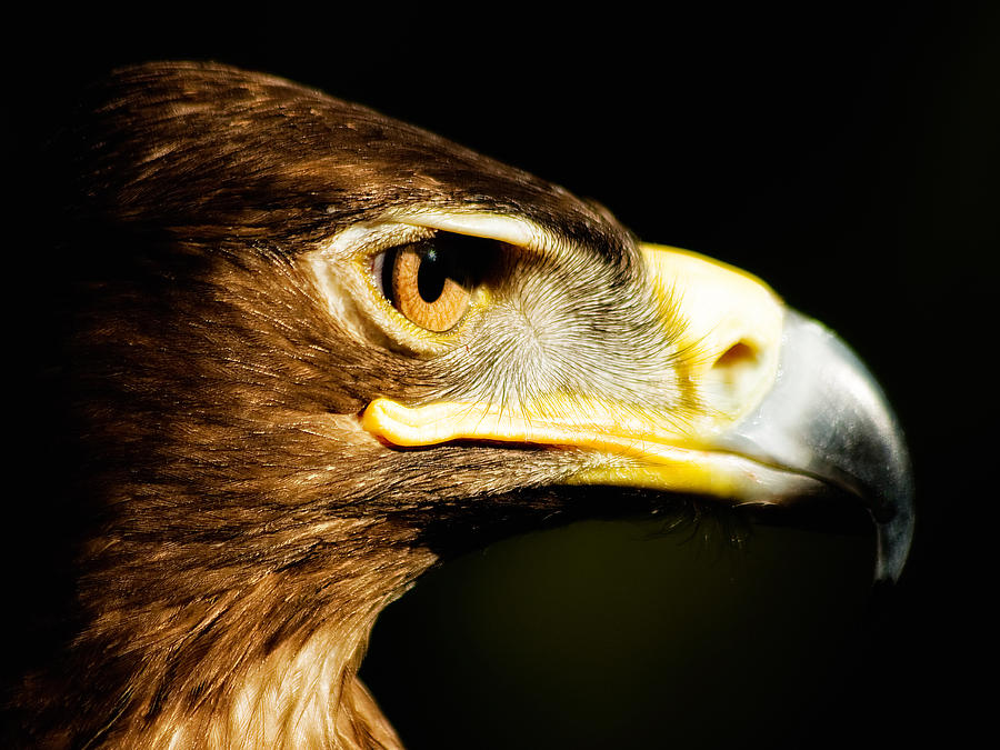 Eagle Eye - Steppes Eagle Profile Photograph  - Eagle Eye - Steppes Eagle Profile Fine Art Print
