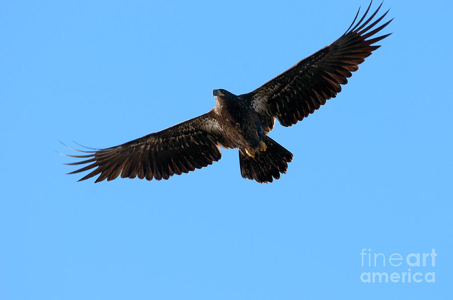 Eagle Wings Photograph  - Eagle Wings Fine Art Print