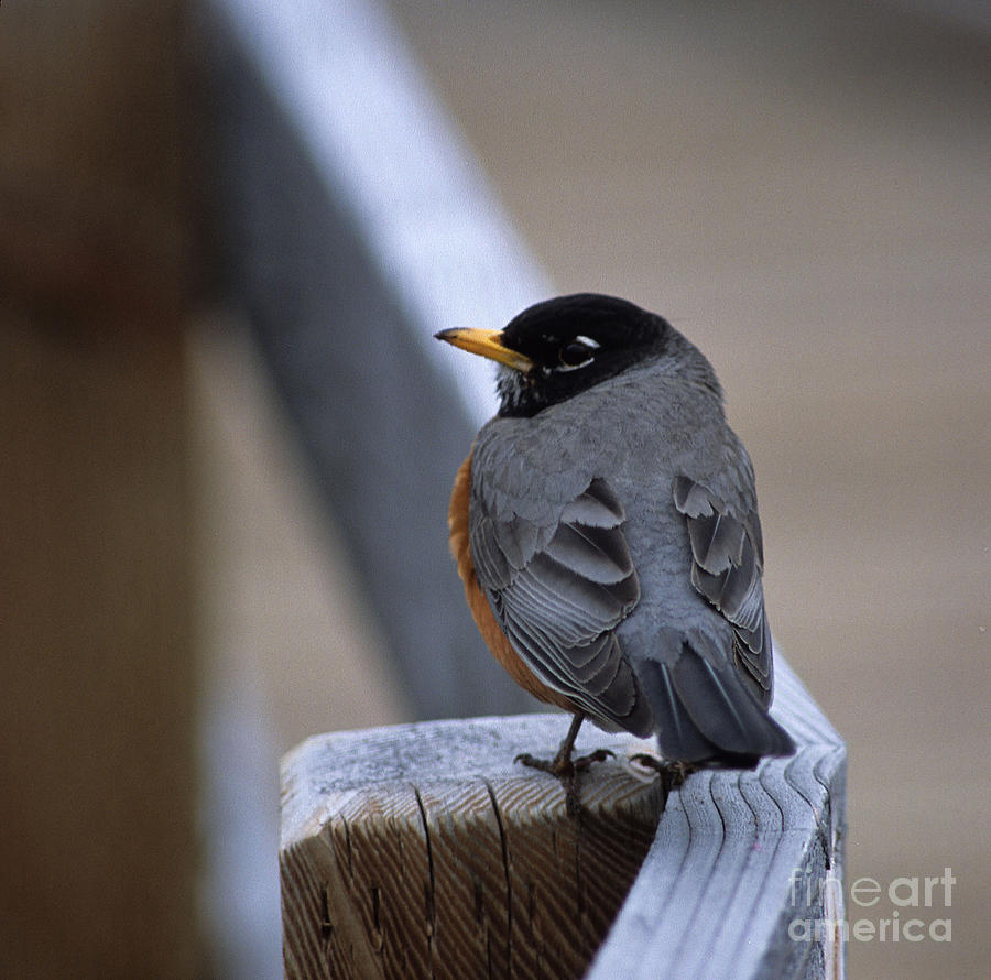 Early Bird Photograph  - Early Bird Fine Art Print