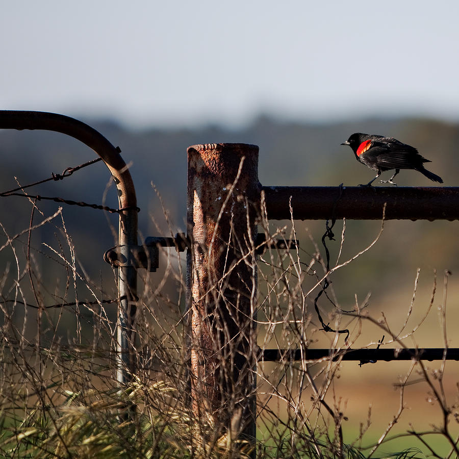 Red-winged Blackbird Photograph - Eary Morning Blackbird by Art Block Collections
