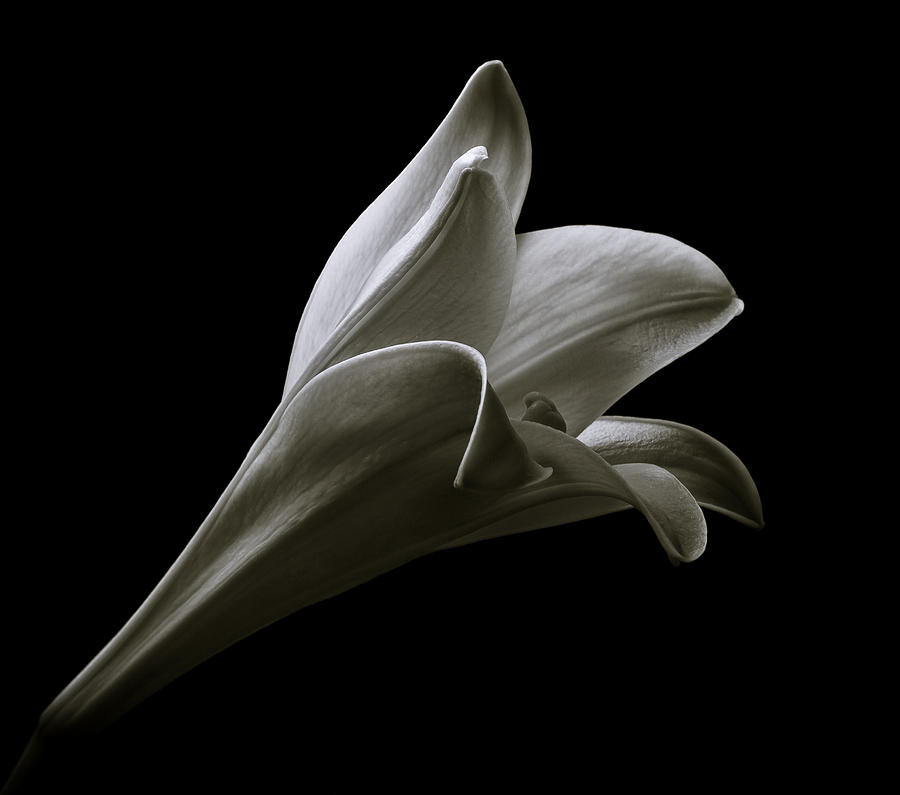 Easter Lily II Photograph