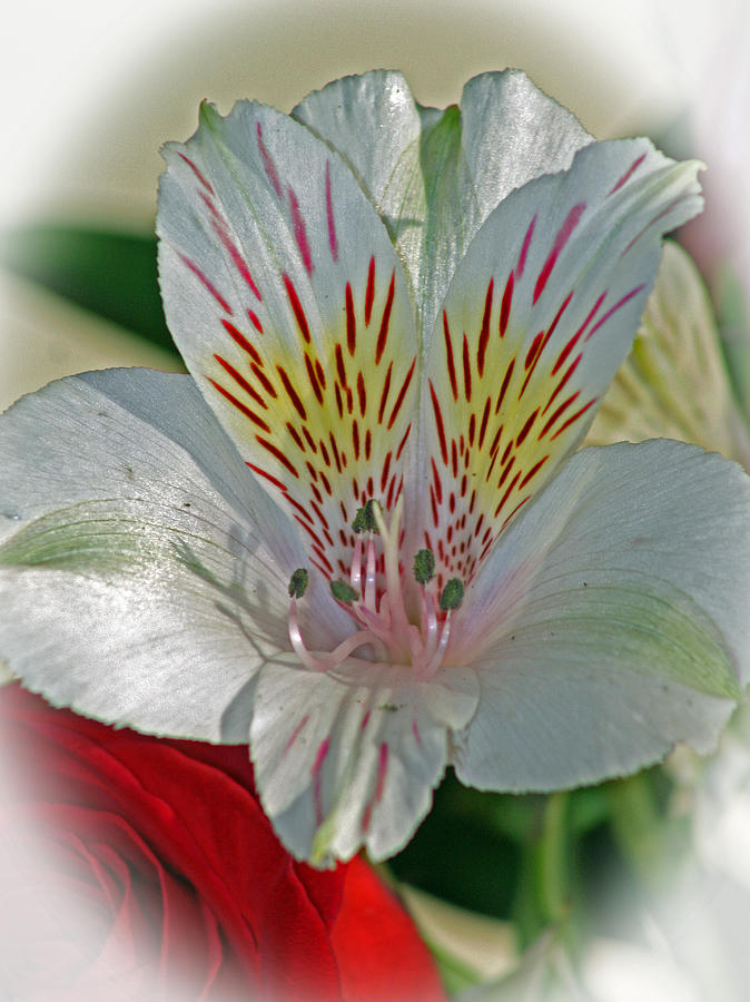 Easter Lily Photograph  - Easter Lily Fine Art Print