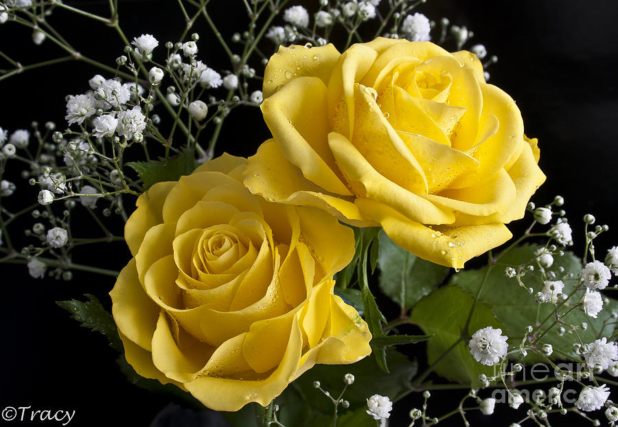Easter Roses Photograph