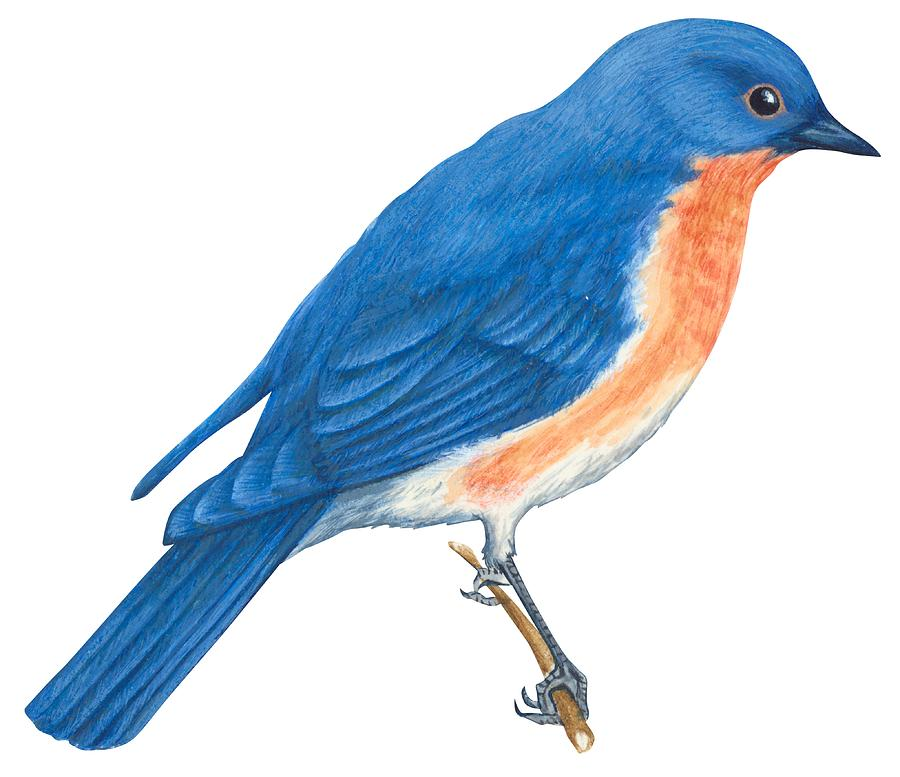 No People; Horizontal; Side View; Full Length; White Background; One Animal; Wildlife; Zoology; Eastern Bluebird; Sialia Sialis; Blue; Orange Color; Brown Drawing - Eastern Bluebird by Anonymous