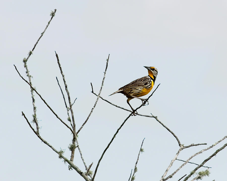 Eastern Meadowlark II Photograph  - Eastern Meadowlark II Fine Art Print