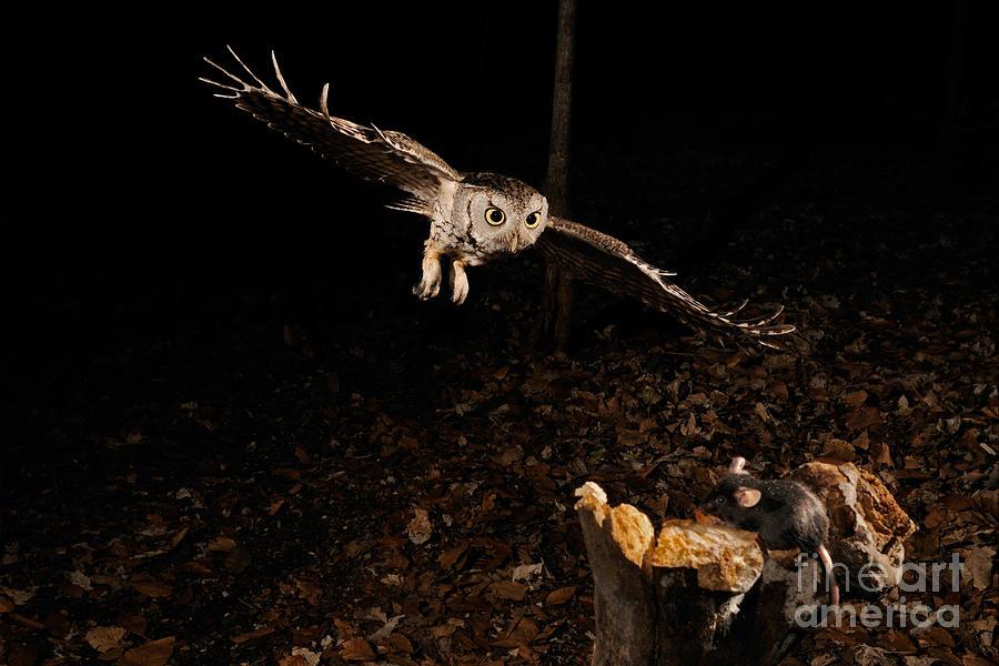 Eastern Screech Owl Hunting Photograph