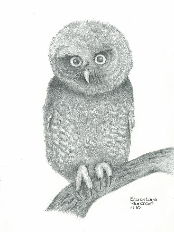 Eastern Screech Owl Drawing  - Eastern Screech Owl Fine Art Print