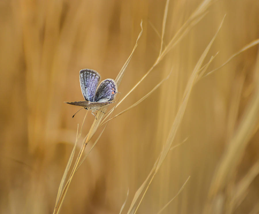 Eastern Tailed Blue Butterfly Photograph  - Eastern Tailed Blue Butterfly Fine Art Print