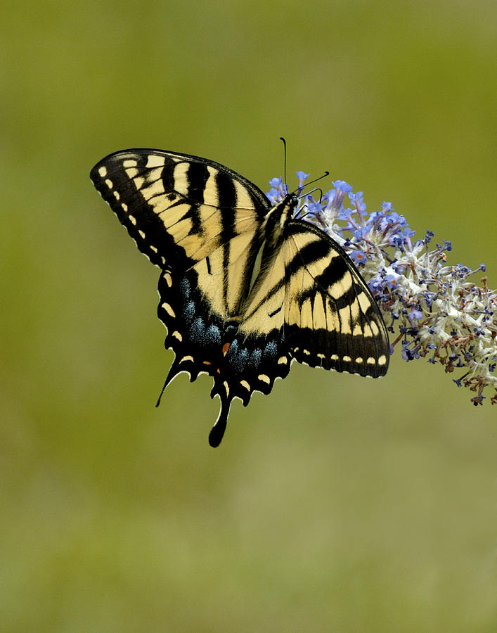 Eastern Tiger Swallowtail On Butterfly Bush Photograph