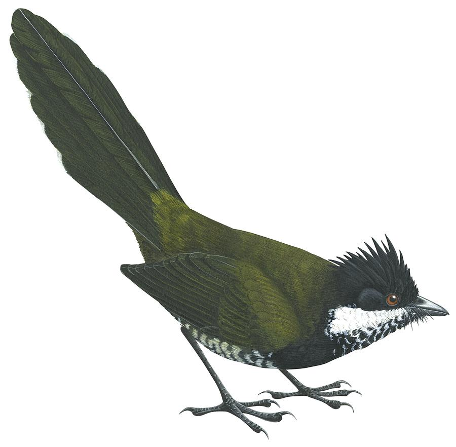 Eastern Whipbird Drawing