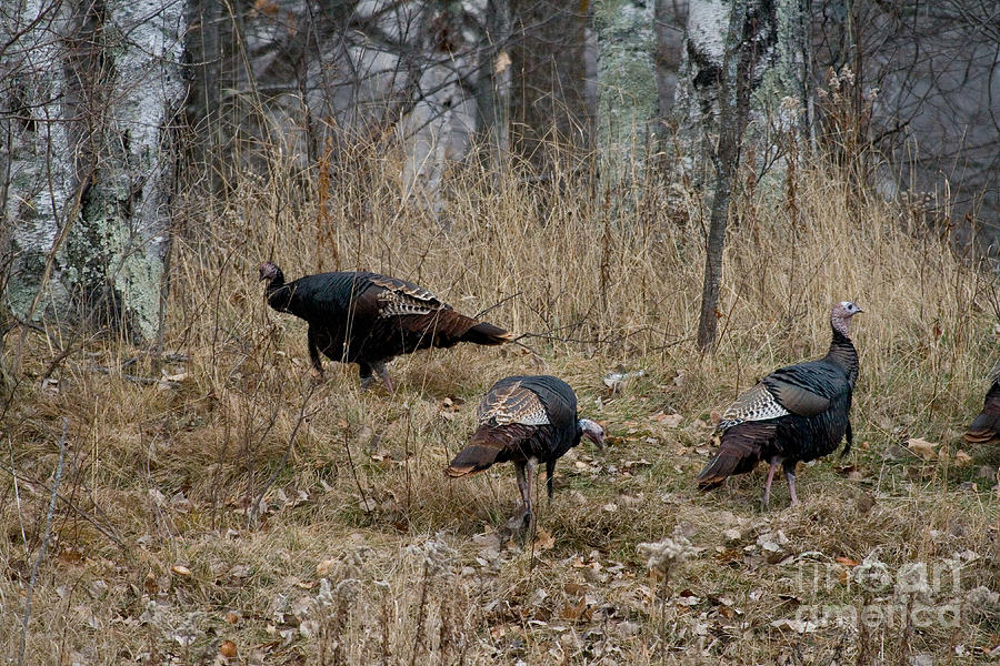 Eastern Wild Turkeys Photograph