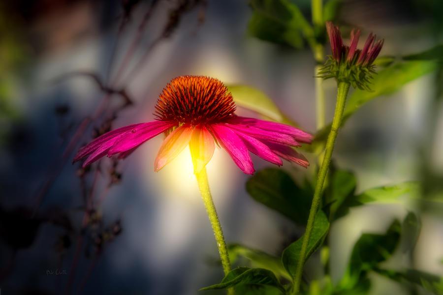 Echinacea Sunrise Photograph