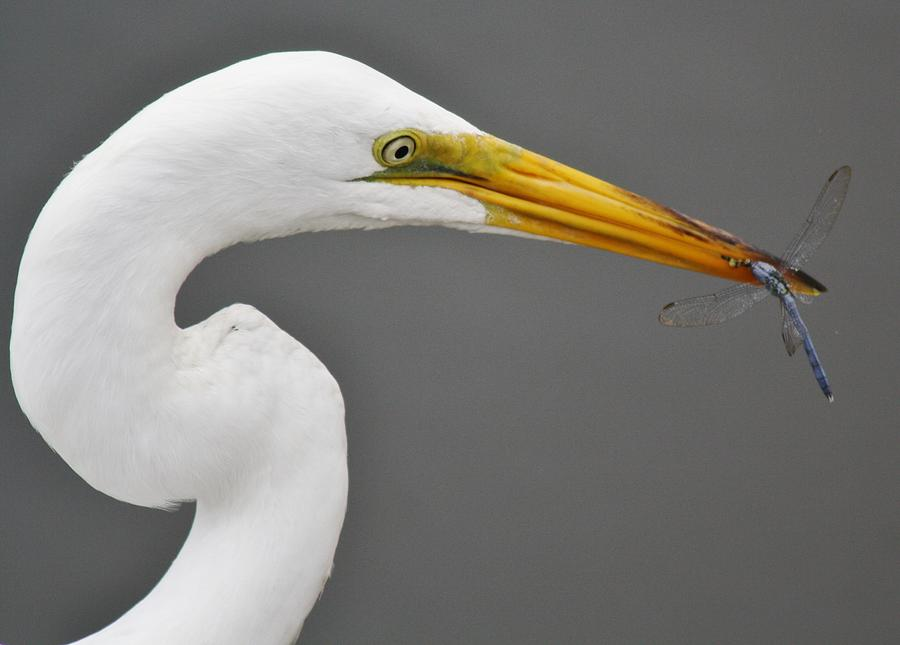 Egret And The Dragonfly Photograph