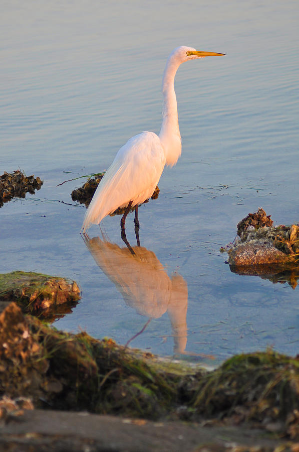 Egret - Dunedin Florida Photograph