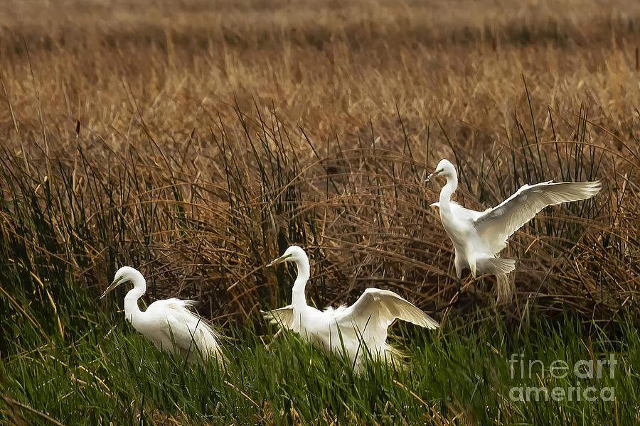Egret Landing Photograph