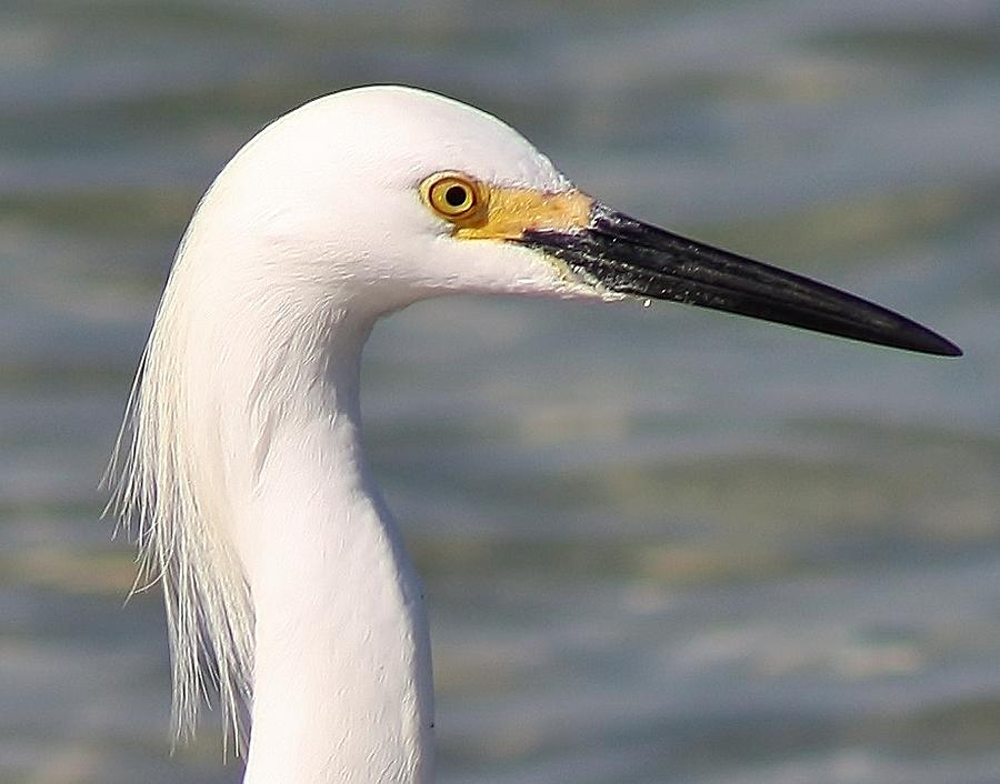 Egret Portrait Photograph