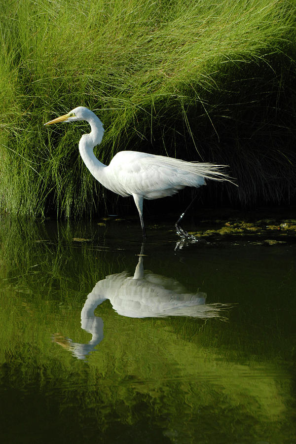 Egret Reflections Photograph  - Egret Reflections Fine Art Print