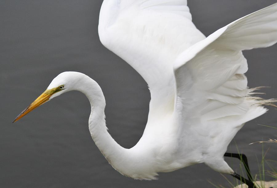 Egret Take Off Photograph